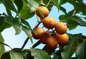 Pitomba frutas do sertão