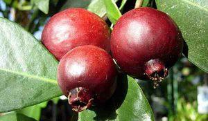 Veja na foto como é uma das frutas do sertão, o araçá